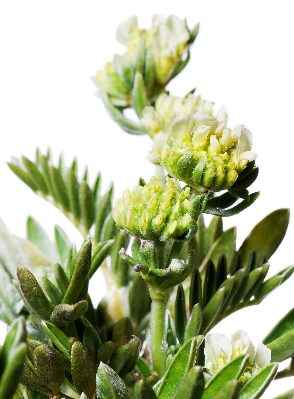 Piante Mediterranee Per Siepi : Anthyllis barba jovis v vivai rasconi piante e