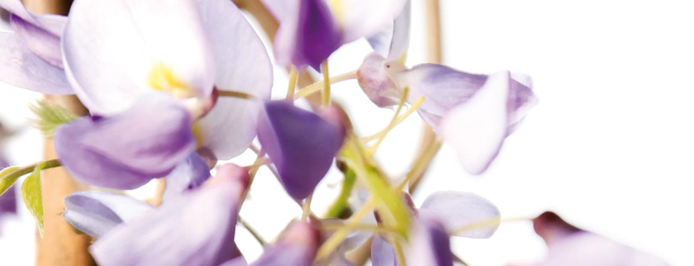 3-Wisteria-sinensis