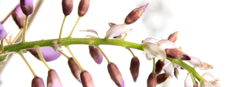 4-Wisteria-sinensis