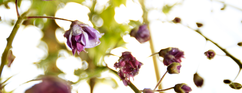 6-Wisteria-floribunda-Violacea-Plena