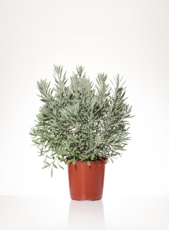Piante Mediterranee Per Siepi : Lavandula allardii v vivai rasconi piante e