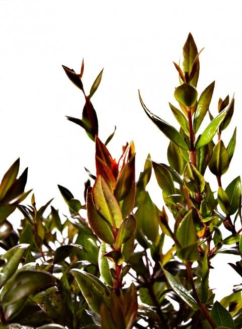 Salvia-Chamaedryoides_Argentea-BOX-HOME