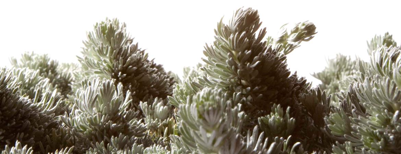 Artemisia_lanata-V16-HOME