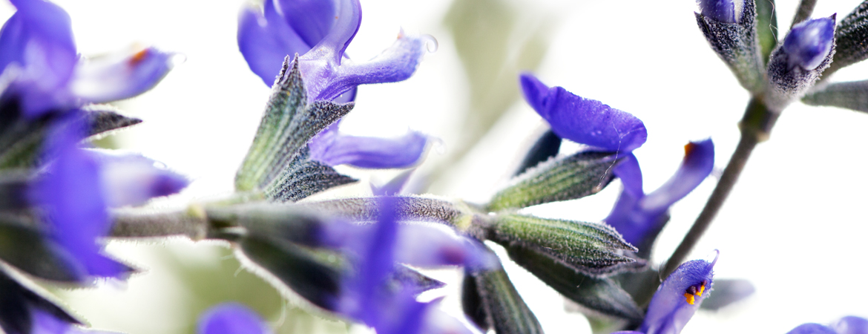 Salvia_chamaedryoides_Argentea-V16-HOME