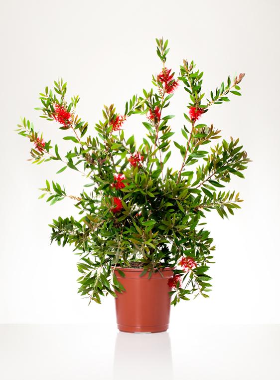 Piante Tappezzanti Ombra : Callistemon laevis v vivai rasconi piante e