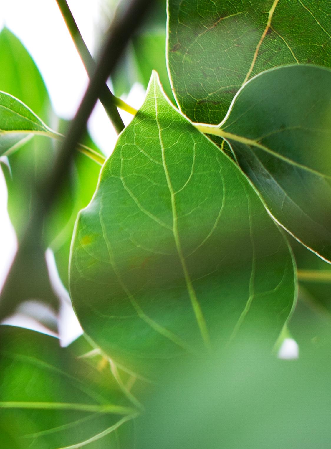 Piante Tappezzanti Ombra : Cinnamomum camphora v vivai rasconi piante e